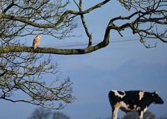 Barn Owl with high hopes (Terry Angus) Tags: owl barnowl cow prey