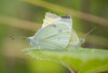Pieridae Butterflies (Nina Leitgeb) Tags: pieridae butterfly butterflies weisling schmetterling austria insect insekt