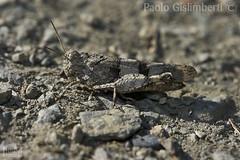Edipoda germanica (Oedipoda germanica), Red-winged Grasshopper (paolo.gislimberti) Tags: macro animals animali insetti insects mimicry mimetismo