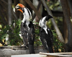 Jackson's Hornbill (Tockus jacksoni) (mat.breiten) Tags: jacksons hornbill tockus jacksoni bird kenya baringo