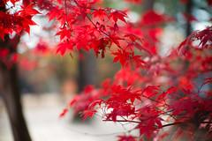 Fall foliage season (Jill-Wang) Tags: m9 maple fall autumn noctilux leica seoul 南怡島