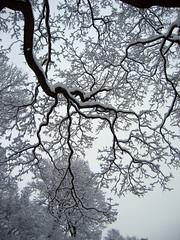 Snø2 (evbjone) Tags: winter snow tree oslo vinter snø trær underskogno photofaceoffwinner photofaceoffplatinum pfogold aug08pfobrackets