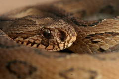 Russell's Viper (Captain Suresh Sharma) Tags: brown india eye scale nature pits garden dangerous reptile snake wildlife venomous nostrils herpetology snakecell snakesofindia captsureshsharma venomos