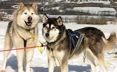 friendly huskies (Pierre Metivier) Tags: winter dog snow france alps alpes husky huskies sled dogsled ancelle hautesalpes