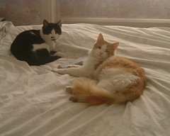 Share the bed (Bashed) Tags: uk pink england blackandwhite pet cats cute male female cat ginger bed europe toes wink share phlow:emote=wink