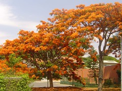 Flamboyants cor de laranja 064 (Flvio Cruvinel Brando) Tags: flowers trees brazil naturaleza flores color tree nature colors braslia brasil cores out ilovenature colorful natureza laranja urbannature brazilian rvore flamboyant cor brasileiro colorida rvores colorido coloridas flamboyants alaranjado arbl flviocruvinelbrando flowerinthesky