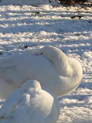 Burrrrr! (Bluepeony) Tags: winter light shadow wild two white snow storm cold bird nature birds ilovenature frozen geese couple shadows pair freezing fluffy naturallight goose freeze waterfowl animalplanet feathery goosemeadow staywarm featheryfriday happyfeatheryfriday thisisacolourphoto burrrrrrrr theworldthroughmyeyes twtme nowyouknowtherealuseofgoosedown acoldwintersnap