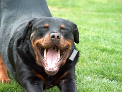 tattoo tongue (RottieLover) Tags: dog pet pets dogs animal animals puppy mr rottweiler su 5bestdogs vesuvio rottie nero animalplanet rottweilers rotties mrsu