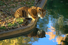 Mirror Mirror [1] 2 - REPOST! (please help) (Nikographer [Jon]) Tags: 2005 cats topf25 animal animals topv111 cat zoo washingtondc smithsonian dc washington topf50 topv555 topv333 nikon topf75 bravo d70 nikond70 topv1111 tiger topv999 d70s 100v10f bigcat mostinteresting nationalzoo topv777 sumatrantiger jalan itsongselection1 topf100 tigris bigcats fonz washdc panthera pantheratigris itsongadayatthezoo itsongnikond70s natlzoo nikographer outstandingshots top20ndpix specnature pantheratigrissumatrae washingtondistrictofcolumbia sumatrae nikonstunninggallery specanimal animalkingdomelite abigfave usnationalzoo myportfoliobest2 outstandingshotshighlight dsc6777 nikographerjon fonz2011