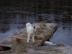 Mag on Dock (lynikers) Tags: animals maggie frozenlake