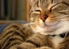nemo the satisfied (manyfires) Tags: sleeping animal cat happy furry kitten 100v10f