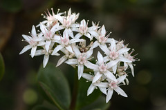 Jade Plant (Van in LA) Tags: pink flowers white plant flower 2006 jade february crassulaceae nybg crassula newyorkbotanicalgarden vanswearingen ovata