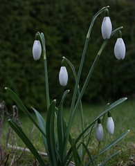 snowdrop sign of Spring (algo) Tags: white plant flower green sunshine photography spring bravo searchthebest gutentag chilterns snowdrops algo gtaggroup goddaym1 galanthophiles