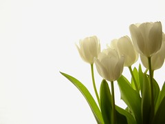 White tulips (Tamara van Molken) Tags: flowers plants topf25 topv111 topv555 topv333 tulips topv444 topv222 negativespace topv777 topv666 judgementday50 cotcmostfavorites