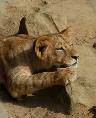 dreamy lion kid (bea2108) Tags: beautiful animal animals zoo lion explore bigcat fv10 bigcats interestingness359 i500