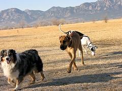 Hey! A New Friend. (Laertes) Tags: stella dog colorado greatdane dane oola
