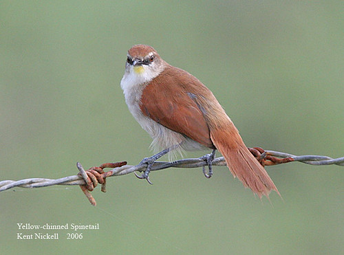 Yellow-chinned Spinetail (Certhiaxis cinnamomea)