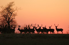 Guardians of the horizon (Today is a good day) Tags: uk sunset england topf25 beautiful silhouette forest wow geotagged ilovenature topf50 topf75 bravo dusk wildlife awesome horizon deer fv10 fallowdeer ashridge picturethis todayisagoodday tiagd kendouglas toptiagd