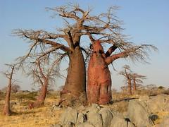 Dancing Baobabs (Makgobokgobo) Tags: africa tree topv111 botswana baobab makgadikgadi adansonia i500 lekhubu kubuisland suapan makgadikgadipans adansoniadigitata