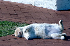 Silly fat cat (Valerie Rene) Tags: cats silly animal cat relax bricks humor tybee tybeeisland furryfriend lieback tybeelighthouse commentonmycuteness thebiggestgroup