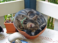 Potted cat (johncarney) Tags: pet cat rosie australia melbourne victoria explore interestingness71 i500 briarhill explore12mar06