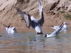 O Baile dos Guinchos 03 (LuPan59) Tags: birds fauna gaivotas kodak aves dx7590 lupan