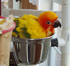 A bird in the cup is worth two in the .... (Ollie girl) Tags: bird cup bath parrot ollie sunconure