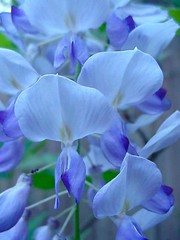 Wisteria in the Twilight (flaurella) Tags: flowers blue flower macro march petals moss spring vines zoom blossom bloom buds blooms 20 wisteria northflorida