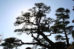 Fractal Beauty of Pines 3 (( I was ) Lost in Tokyo) Tags: park beauty japan pine pin fractal koen mito matsu parc japon ibaraki kairakuen ibarakiken fractalbeautyofpines