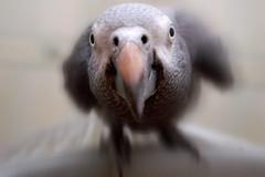 henry (Peter Fuchs) Tags: blur love lens wide parrot loveit henry motionblur radialblur blueribbonwinner supershot featheryfriday interestingness379 i500 mywinners impressedbeauty