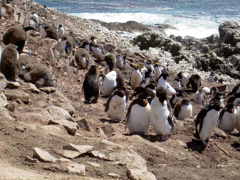 Maccaroni Penguins