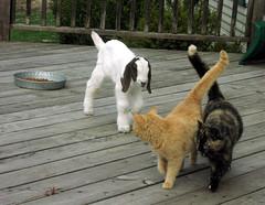 What pretty cats.... ?? (Boered) Tags: cats cat goat samantha freddy binky boergoat buckling bottlebaby