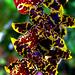 Leopard? Orchids