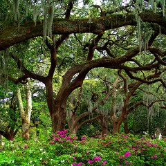 springtime in savannah. (D.James | Darren J. Ryan) Tags: park old pink trees atlanta urban copyright usa green darren architecture georgia photography james j photo blog moss interestingness spring interesting photographer azaleas ryan d stock magenta architectural 150 explore spanish 25 spanishmoss 100 savannah blooms 5000 50 djames 75 spaces allrightsreserved 175 125 forsyth explored darrenryan frhwofavs wwwdarrenjryancom wwwstudiobydjamescom darrenjryan wwwdarrenryanphotographycom
