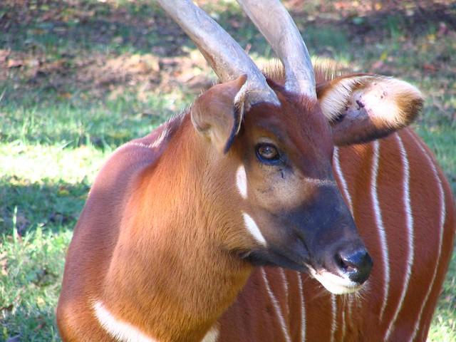Grassmere Bongo