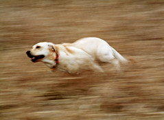 Ramona at Full Speed Ahead! (WisDoc) Tags: dog motion wisconsin speed canon movement labrador yellowlab action quality running verona ramona panning blurredbackground wisdoc selectedasthebest