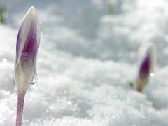 the crocus cries (placeinsun) Tags: flowers snow spring vermont crocus 100v10f middlebury april myyard neninvite