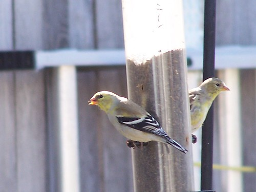 Backyard Goldfinches