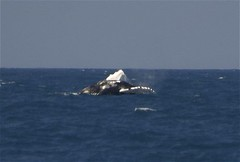 Humpback breaching (ecotist) Tags: whale humpback breach