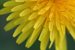 Dandelion (code poet) Tags: flower macro yellow 100mm dandelion wildflower ccmpclosencounter apexmacro