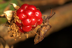 "Shieldbug on a berry • <a style=""font-size:0.8em;"" href=""http://www.flickr.com/photos/57024565@N00/248931748/"" target=""_blank"">View on Flickr</a>"
