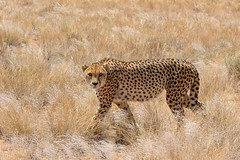 Cheetah / Gepard (japankatze) Tags: cheetah gepard namibia solitaire desert säugetier savanne wüste