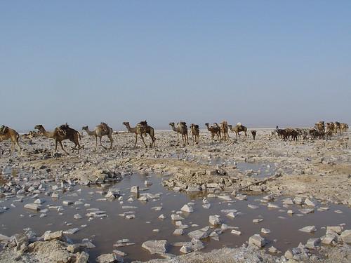 enkele van de 3000 kamelen die dagelijks geladen worden