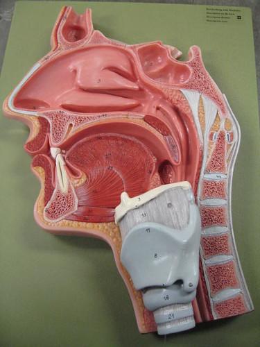 Nasal Oral Cavity 1
