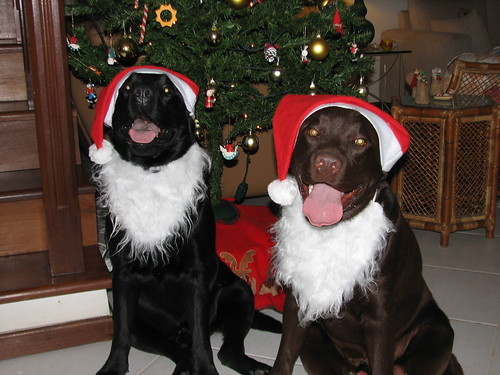 black and chocolate labs - Christmas