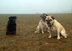 Pugs in the Fog (Finstr) Tags: christmas nyc newyorkcity dog pet pets newyork dogs animal animals fog brooklyn kirby interestingness1 prospectpark pug christmas2005 pugs sheehan finster bonz mikesheehan i500 nikonstunninggallery prospectparkpooches
