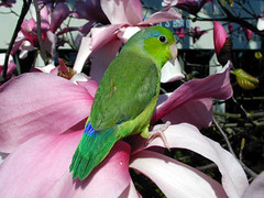 Rowdy (Pacific Parrotlet) by Geek2Nurse, on Flickr