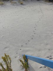 Cat Tracks on the Beach