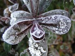 frosty hebe - by Madzik