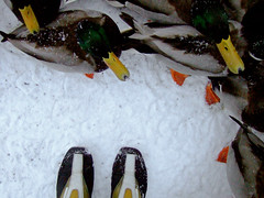 ducks (johanna) Tags: snow feet ducks patas uppsala ps sverige 4l patos bicos pleonasmo osreboquesdaj